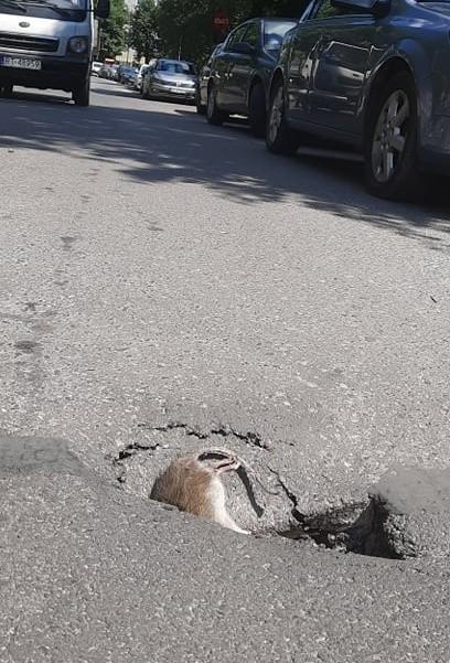 Tarnobrzeg. Dziura w drodze, w dziurze szczur. Czytelniczka alarmuje (ZDJĘCIA)