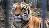 Zoo Poznań: Nie żyje tygrys Gideon. Wcześniej trafił tu z nielegalnej hodowli