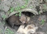 Małe liski znalezione przy polnej drodze koło Inowrocławia. Ich mama nie przeżyła