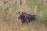 Spotkania z przyrodą powiatu dębickiego. Dziś majestatyczne łosie w obiektywie Jacka Warżały. Zobaczcie zdjęcia!