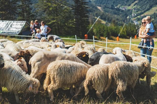 Po wielu latach na Hali Skrzyczeńskiej w Szczyrku znów można ujrzeć pasące się stado owiec. W planach jest powiększenie stada owiec oraz wiele wydarzeń związanych z edukacją i pasterstwem. Zobacz kolejne zdjęcia. Przesuwaj zdjęcia w prawo - naciśnij strzałkę lub przycisk NASTĘPNE