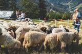 Co za piękny widok w Szczyrku! Sami zobaczcie. Owce wróciły na Halę Skrzyczeńską