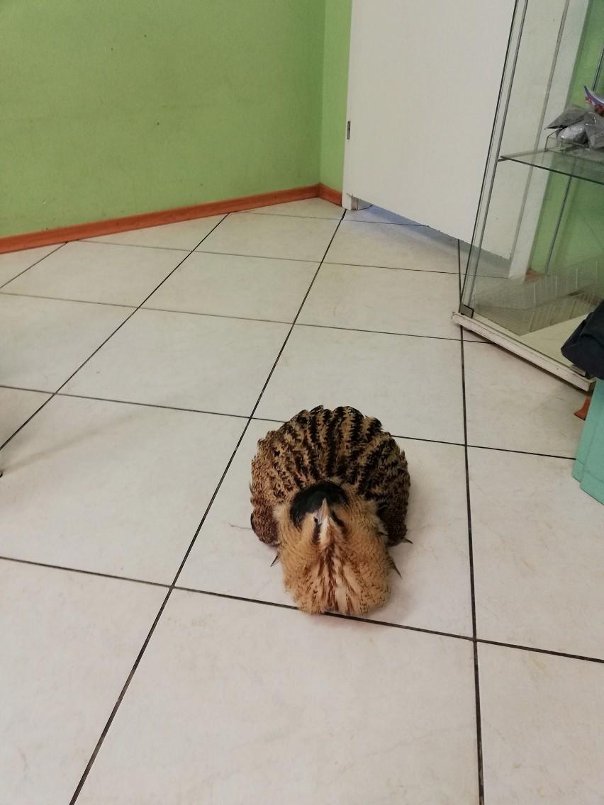 Egzotyczny ptak leżał na chodniku w Gdyni