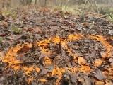 Metalowe kolce ktoś umieścił na ścieżce leśnej na terenie Nadleśnictwa Strzyżów. Zraniły biegacza [ZDJĘCIA]