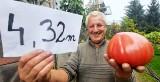 Zielona Góra. Niesamowite! Pomidory pana Zbigniewa mają już prawie 4,5 m wysokości. Będzie rekord?