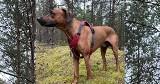 Zaginął pies Nero / rasy rhodesian ridgeback. Bardzo wysoka nagroda!!!