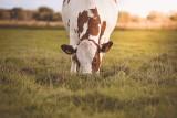 Kołczew w pow. ryckim: Tragiczny wypadek na gospodarstwie. Krowa zabiła 63-latka