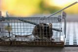 Myszy i szczury w domu lub mieszkaniu – jak je wytępić