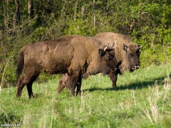 Z powodu gruźlicy wyeliminowano w Bieszczadach jedno ze stad żubrów. Ale problem nie zniknął.