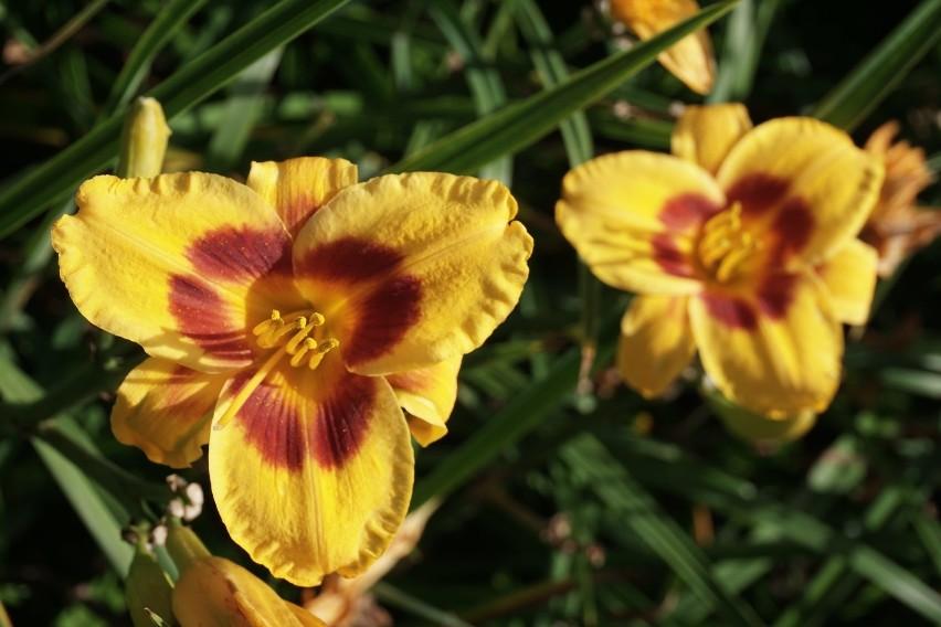 Prawie 16000 liliowców z ponad 90 odmian można podziwiać w...