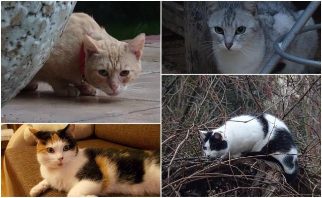 Rysiek, Rosa, Łatka, Kefir, Biszkopt, Bono - to jedne z kilkunastu kotów, które zaginęły na Biskupinie od stycznia.