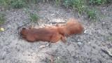 To efekt upałów: trzy potrącone sarny i jedna zabita wiewiórka w Szczecinie