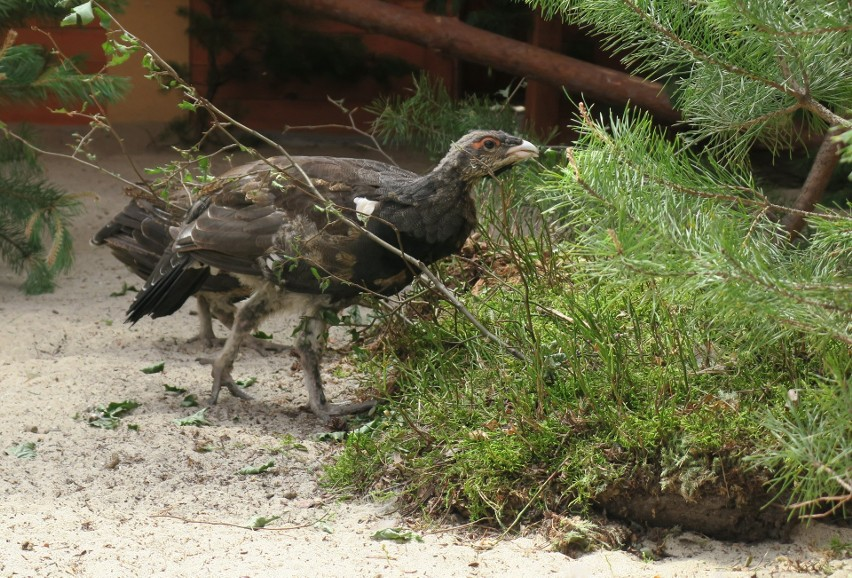 Głuszce wyhodowane na Podkarpaciu odzyskują wolność. Ptaki z ośrodka w Nadleśnictwie Leżajsk zasiedlają polskie lasy [ZDJĘCIA]