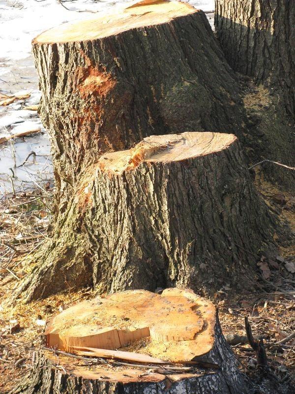 Wycięte drzewa w parku w Brzozie k. Strzelec.