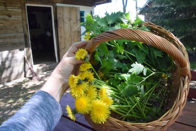 Oto najpopularniejsze zioła rosnące i kwitnące w maju i ich działanie na zdrowie. Monika Dygas zebrała je w swoim przydomowym ogrodzie ogrodzie. Zobacz na kolejnych slajdach.