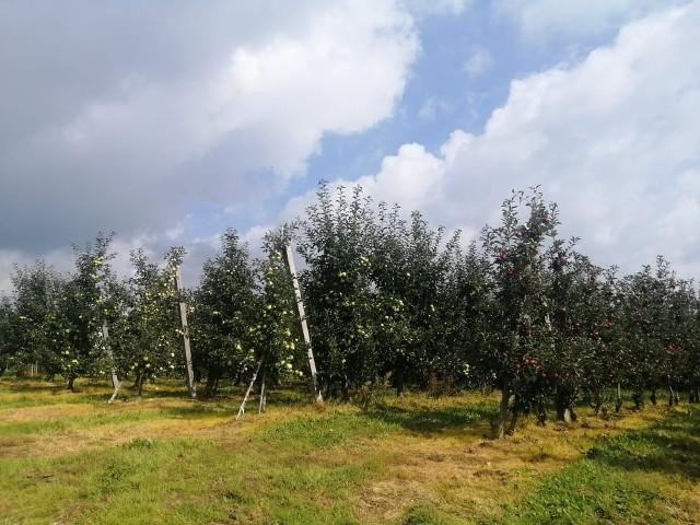 W tym sezonie, w powiecie sandomierskim zostanie zebranych koło  800  tysięcy ton jabłek. Na mniejszy zbiór wpłynęły kwietniowe przymrozki i niska cena owoców w skupie.
