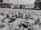 Zima wróciła pod Tatry, Zakopane znów białe. Krokusy przykryte śniegiem. Ma sypać do końca tygodnia!