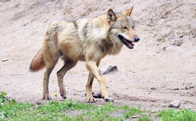 Wilk to gatunek pod ścisłą ochroną i płoszenie go czy odstrzał są praktycznie niemożliwe. Taką zgodę - tylko w wyjątkowych sytuacjach - może wydać Generalna Dyrekcja Ochrony Środowiska