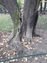 Kraków. Potężne drzewo na Plantach pęka, zagraża spacerowiczom
