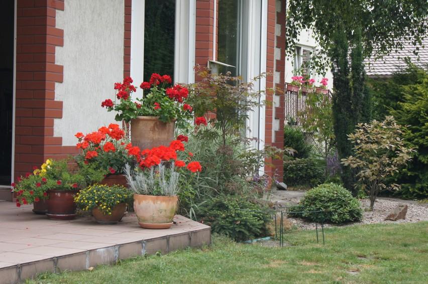 Najbardziej popularną rośliną balkonową jest pelargonia i...