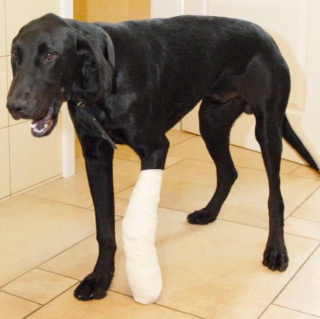Poturbowanym labradorem zajęli się inspektorzy SOR. - Piesek jest bardzo łagodny, potrzebuje dużo ciepła i miłości - opowiada Bartosz Krieger.