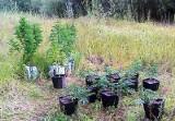 Kolejna plantacja konopi indyjskich namierzona