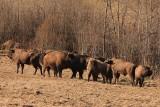 Jest zgoda na odstrzał żubrów w Bieszczadach. Zwierzęta trapi ciężka choroba. Telazjoza zagraża całej populacji [ZDJĘCIA]