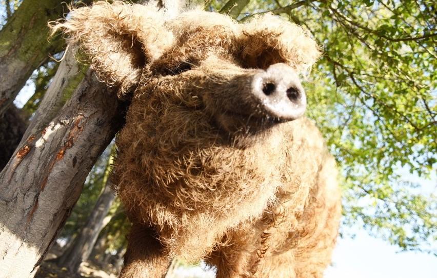 Kędzierzawe świnie mangalice, kozy o azjatyckich korzeniach,...