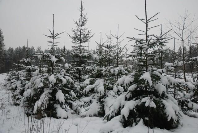- Od kilku lat obserwujemy wzrost zainteresowania naturalną choinką świąteczną – informuje Jarosław Krawczyk, rzecznik pasowy RDLP w Białymstoku. - Wyraźnie to widać po popycie jakim cieszą się drzewka w punktach sprzedaży przy nadleśnictwach.- W nadleśnictwach w pobliżu Białegostoku z obszaru Puszczy Knyszyńskiej za drzewko o wysokości od 1,5 do 3,0 m. zapłacimy 30 – 55 zł – dodaje Jarosław Krawczyk.