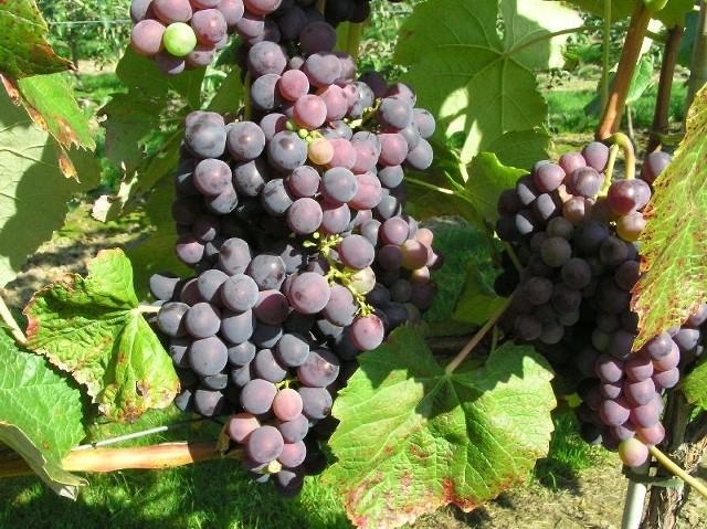W Sandomierzu producent winorośli musi uchwycić moment, w którym cukrów jest już wytworzonych powyżej dwudziestu procent, ale jeszcze kwasy się nie rozłożyły. To kwasy decydują o smaku i o tym, jak wino odczuwamy na podniebieniu.