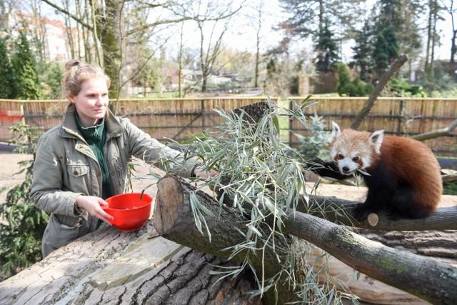 Na wybiegach podglądać można życie rzadkich gatunków zwierząt jak takiny miszmi, karakale, pandy małe, taraje czy lemury.  Zabawne są skaczące kangury, przyjazne ludziom owce i kozy oraz dość leniwa niedźwiedzica Volta. W związku z wprowadzonymi przez rząd obostrzeniami, w ogrodzie nie można zwiedzać ptaszarni oraz herpetarium. Są zamknięte do 9 kwietnia. Toruńskie zoo czynne jest codziennie w godz. 10-18. Normalny bilet wstępu kosztuje  10 zł, ulgowy 7 zł.