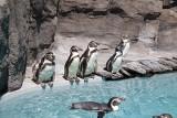 Chorzów. Pingwiny wróciły na wybieg Śląskiego Ogrodu Zoologicznego. Zobaczcie wesołą gromadkę pingwinów Humboldta ze Śląska