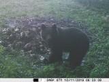 Niedźwiedź w okolicach Pruchnika. Zdjęcia zrobiła mu fotopułapka, być może to misio widziany wcześniej koło Woli Węgierskiej [ZDJĘCIA]