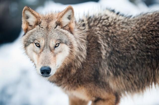 Wzrasta także liczba wilków - kilkanaście lat temu było ich w Polsce kilkaset, obecnie jest kilka tysięcy. W naszym województwie  leśnicy zauważyli już przynajmniej dwie wilcze watahy - w Puszczy Bolimowskiej i lasach nad Pilicą, a ostatnio widziano wilka w lasach pod Poddębicami. Nie trzeba się ich bać; nie zdarza się obecnie, aby atakowały człowieka, za to w lesie pełnią pożyteczną rolę, eliminując nadmiar zwierzyny płowej oraz osobniki chore.