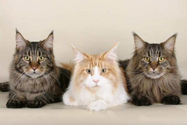 Maine coon Maine coon to rasa kotów idealnie nadająca się dla rodziny z dziećmi, ponieważ jest niezwykle spokojna, przyjacielska, cierpliwa, uwielbia zabawę. Koty te lubią być jednak w centrum uwagi i nie odstępować swojego właściciela ani na krok. Warto wspomnieć, że maine coon należy do jednej z największych ras kotów. Ich przodkami są dzikie, górskie koty o długim, puszystym futerku oraz charakterystycznymi pędzelkami na uszach. Za koty tej razy zapłacimy od półtora do trzech tysięcy złotych.