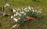 W Polsce mamy już pierwsze oznaki wiosny! Kwitną przebiśniegi, leszczyna też [zdjęcia]