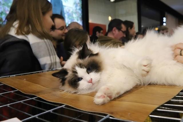 Wystawa kotów rasowych w Sukcesji