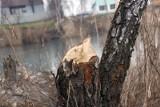 Populacja bobrów w Polsce rośnie. Liczba szkód też, więc samorząd rolniczy wnioskuje o redukcję