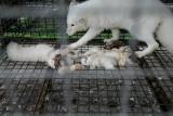 Koszmar na fermie pod Krotoszynem! Zwierzęta w stanie agonalnym, porozrzucane truchła. Uwaga! Makabryczne zdjęcia i film