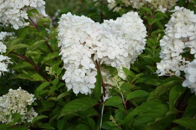 Hortensja bukietowa (Hydrangea paniculata)Hortensja bukietowa kwitnie w sierpniu i wrześniu, ale suche kwiaty utrzymują się na łodygach nawet całą zimą, będąc ozdobą ogrodu.