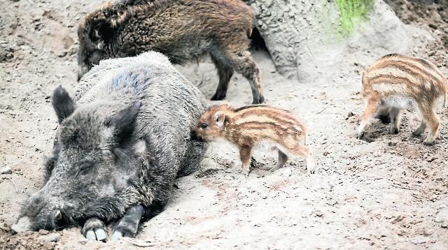 Dziki wydają się bardzo przyjemnymi zwierzakami, ale spotkanie z nimi może zakończyć się tragicznie, zwłaszcza jeśli napotkamy lochę opiekującą się warchlakami