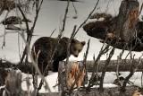 Tatry. Niedźwiedzie już nie śpią. Wędrują i szukają pożywienia