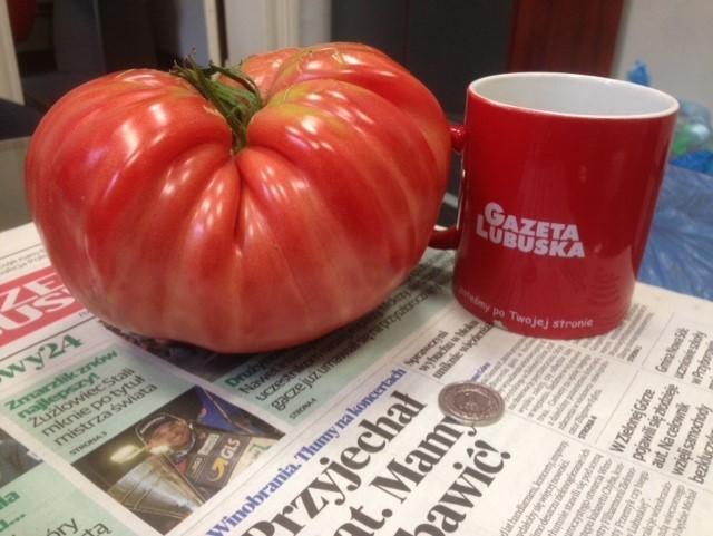 Pomidor gigant wyrósł w ogrodzie w Zielonej Górze Raculi. Macie podobne? Wyślijcie nam fotki!