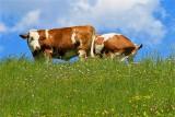 """Ile dni wypasu krów i ile miejsca dla świń? Wymogi podwyższonego dobrostanu, czyli """"500 plus"""" dla hodowców"""