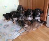 Osiem szczeniaków czeka na nowy dom