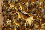 Rada Miejska: Pszczoły nadal nielegalne w Łodzi
