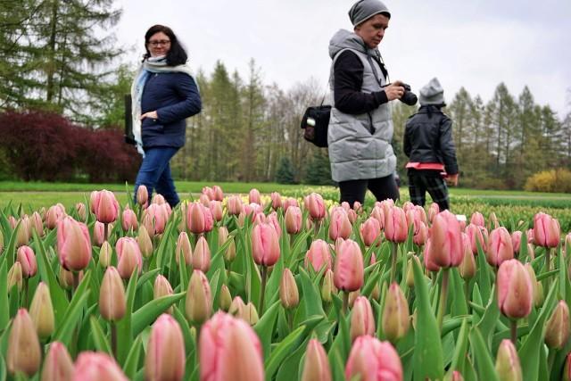 W ogrodzie botanicznym w Łodzi kwitną tulipany.