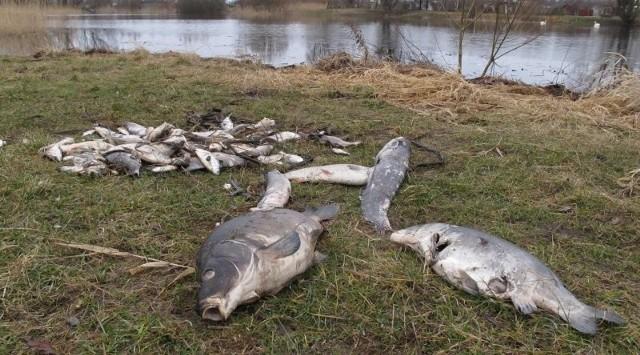 Jeden ze stosów wyciągniętych z Kociego Stawu śniętych ryb. Wyłowiono ich ponad 200 kg.