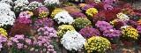 Rybnik udostępnia sprzedawcom chryzantem parking wielopoziomowy. Czerwionka kupuje kwiaty na świeto 11 listopada