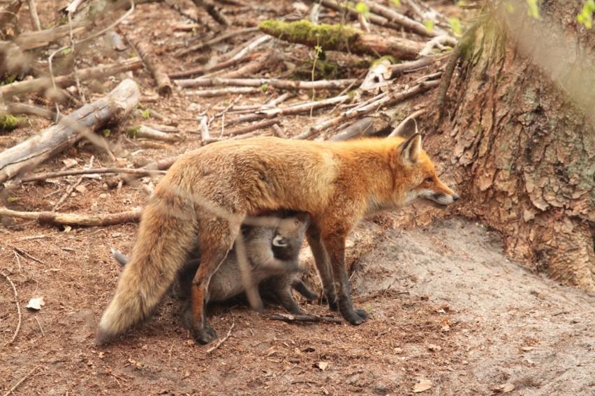 Lisia rodzinka liczy 14 członków: liszka, czyli mama, pies,...